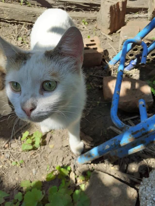 LOLLIPOPS, chatte tricolore née en 2019 - marrainée par Lilirez2 10183210