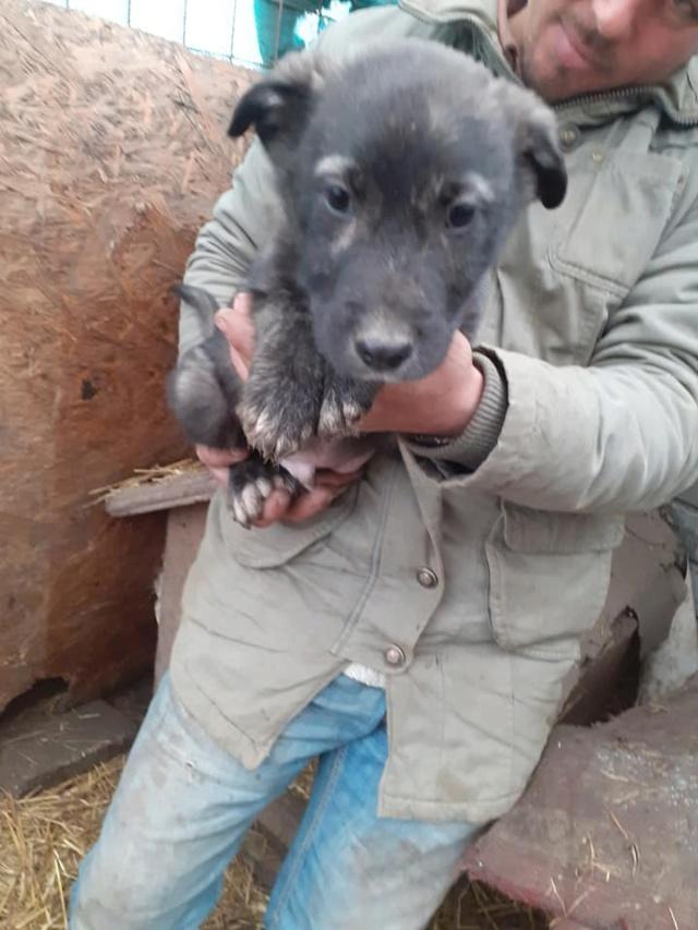 BLACK-PEARL, mâle noir né en Septembre 2020, Nr 14015.Bébé de Bakari-R-SOS-SC 13193511