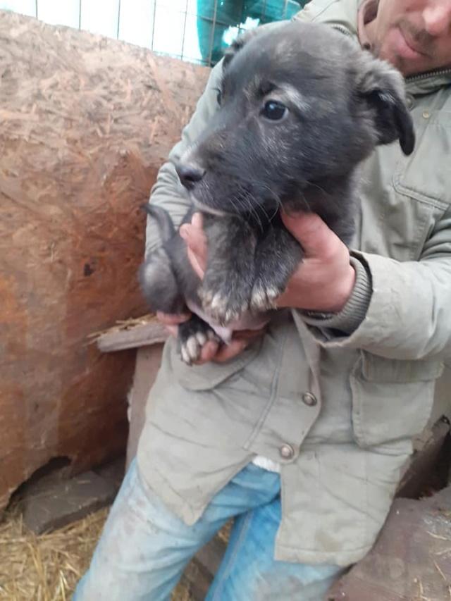BLACK-PEARL, mâle noir né en Septembre 2020, Nr 14015.Bébé de Bakari-R-SOS-SC 13203910