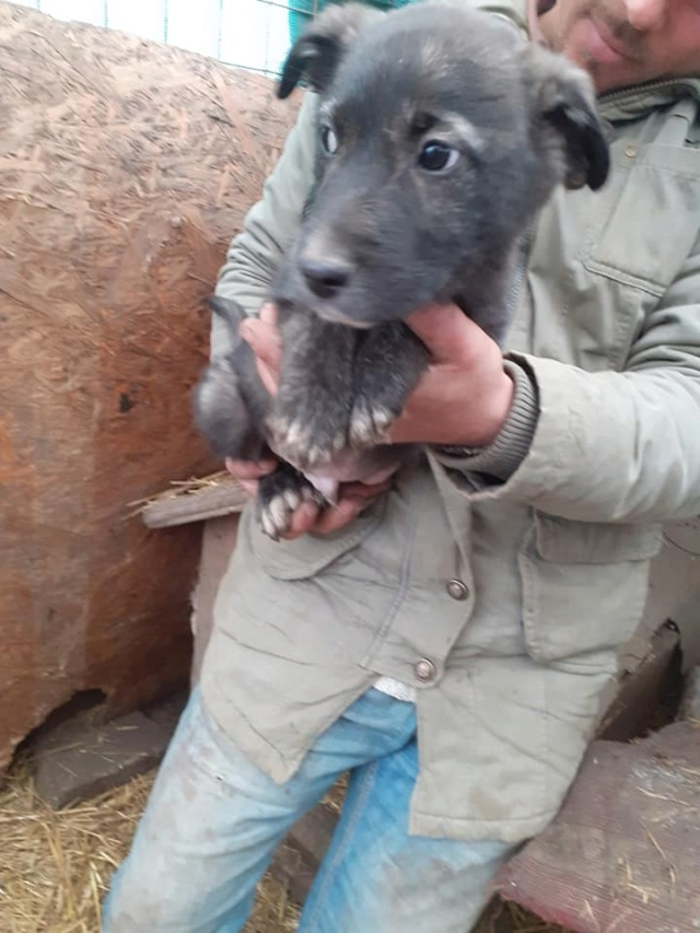 BLACK-PEARL, mâle noir né en Septembre 2020, Nr 14015.Bébé de Bakari-R-SOS-SC 13204110