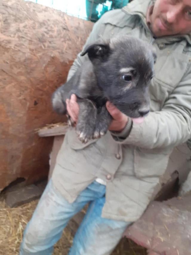 BLACK-PEARL, mâle noir né en Septembre 2020, Nr 14015.Bébé de Bakari-R-SOS-SC 13204211