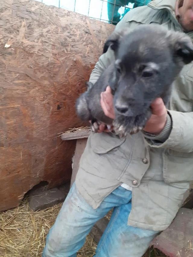 BLACK-PEARL, mâle noir né en Septembre 2020, Nr 14015.Bébé de Bakari-R-SOS-SC 13209010