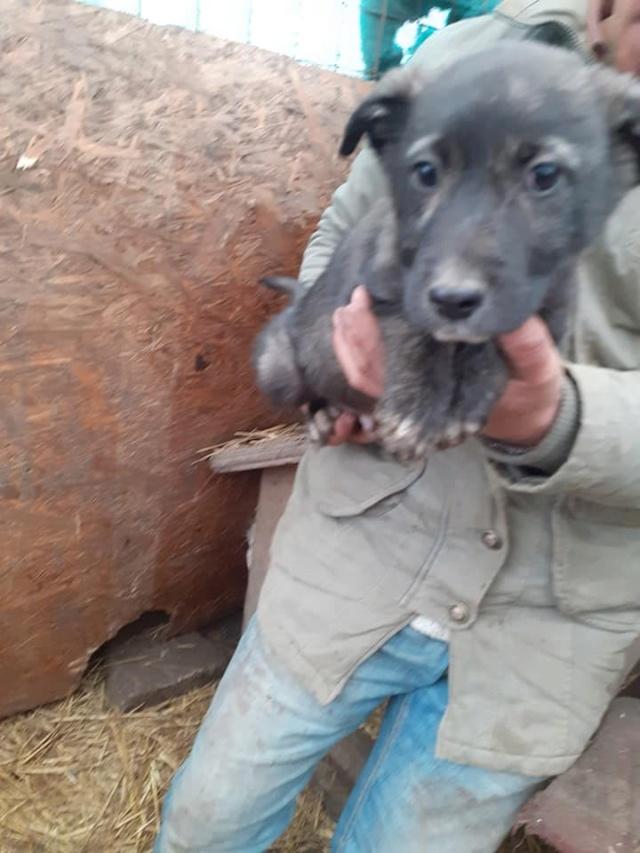 BLACK-PEARL, mâle noir né en Septembre 2020, Nr 14015.Bébé de Bakari-R-SOS-SC 13211210