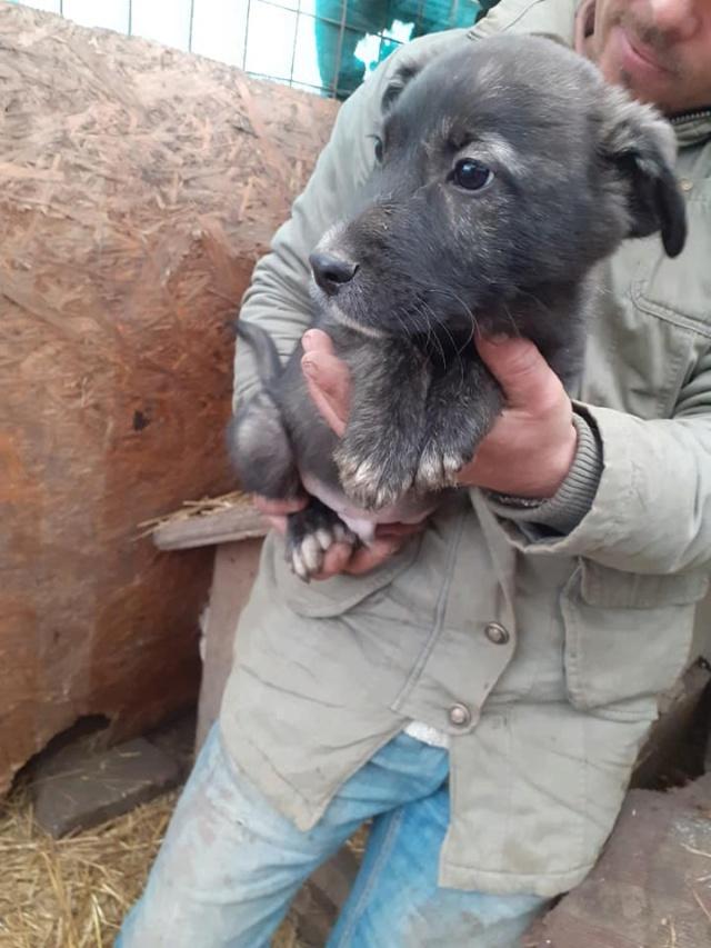 BLACK-PEARL, mâle noir né en Septembre 2020, Nr 14015.Bébé de Bakari-R-SOS-SC 13217511