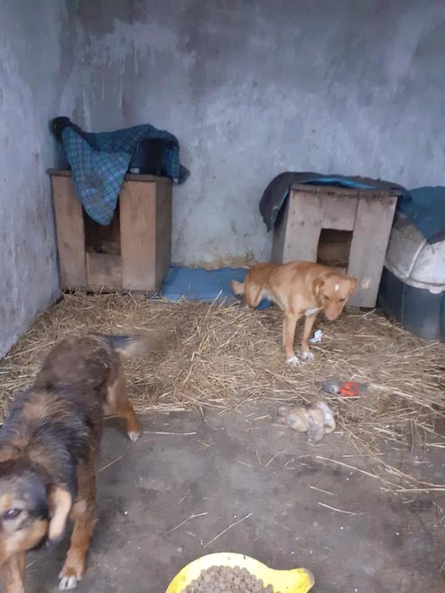 GRAZZIA - femelle née en 2019 - Trouvée errante dans le champs en face du refuge en Décembre 2020-R- 13360811
