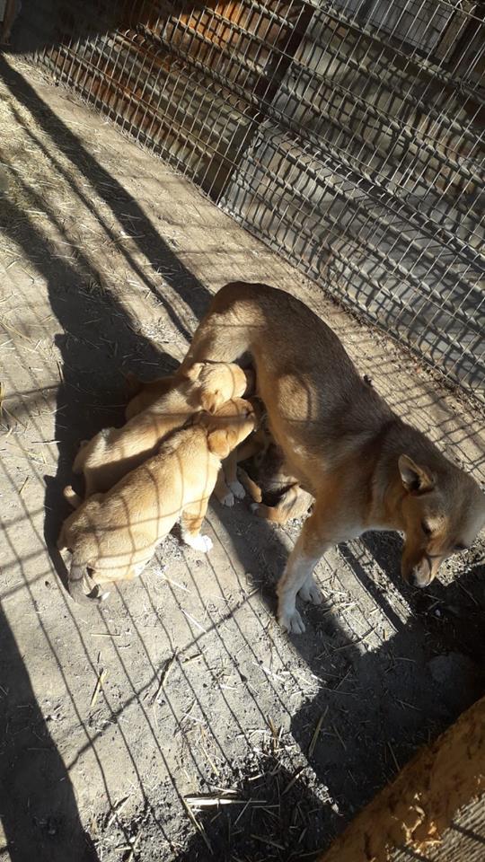 GINGER NEE LE 14/02/2016 Sauvée avec ses 4 chiots (tous décédés) EN FA DANS LE 60 - marrainée par Alexandra B. R-SOS-SC-30MA 55627712