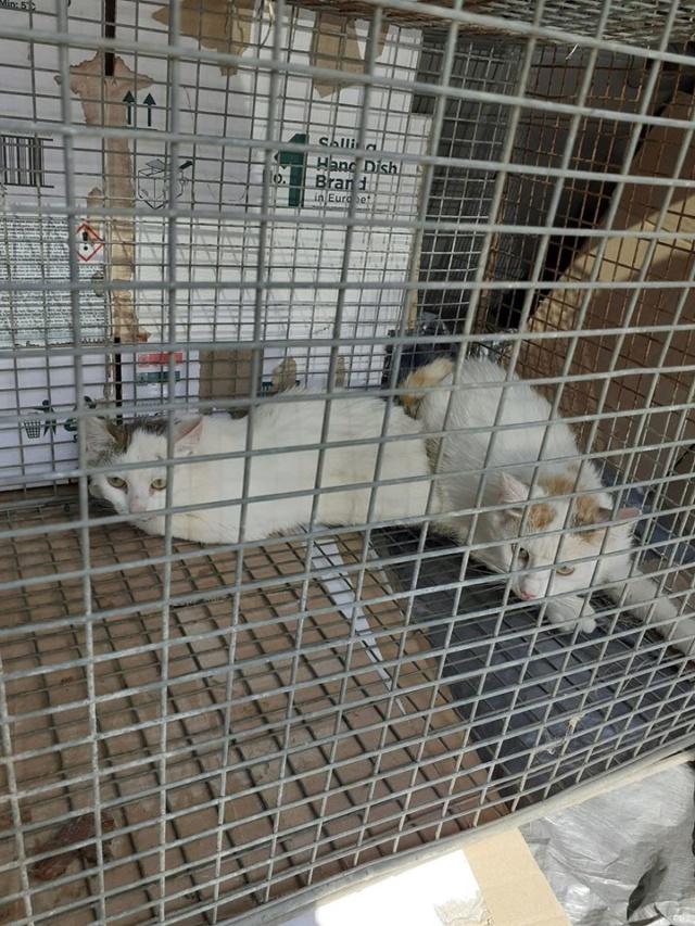 HARIELLE, chatte née en 2019 blanche et grise. Chatte10