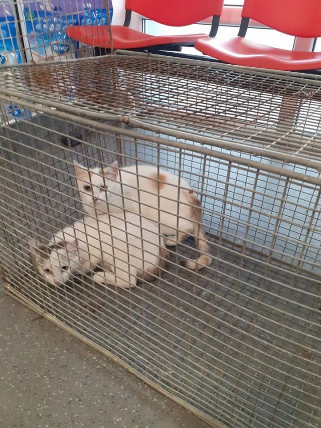 HARIELLE, chatte née en 2019 blanche et grise. Chatte11