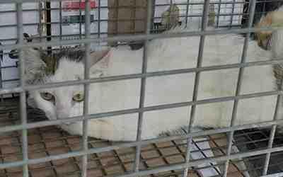 HARIELLE, chatte née en 2019 blanche et grise. Chatte13