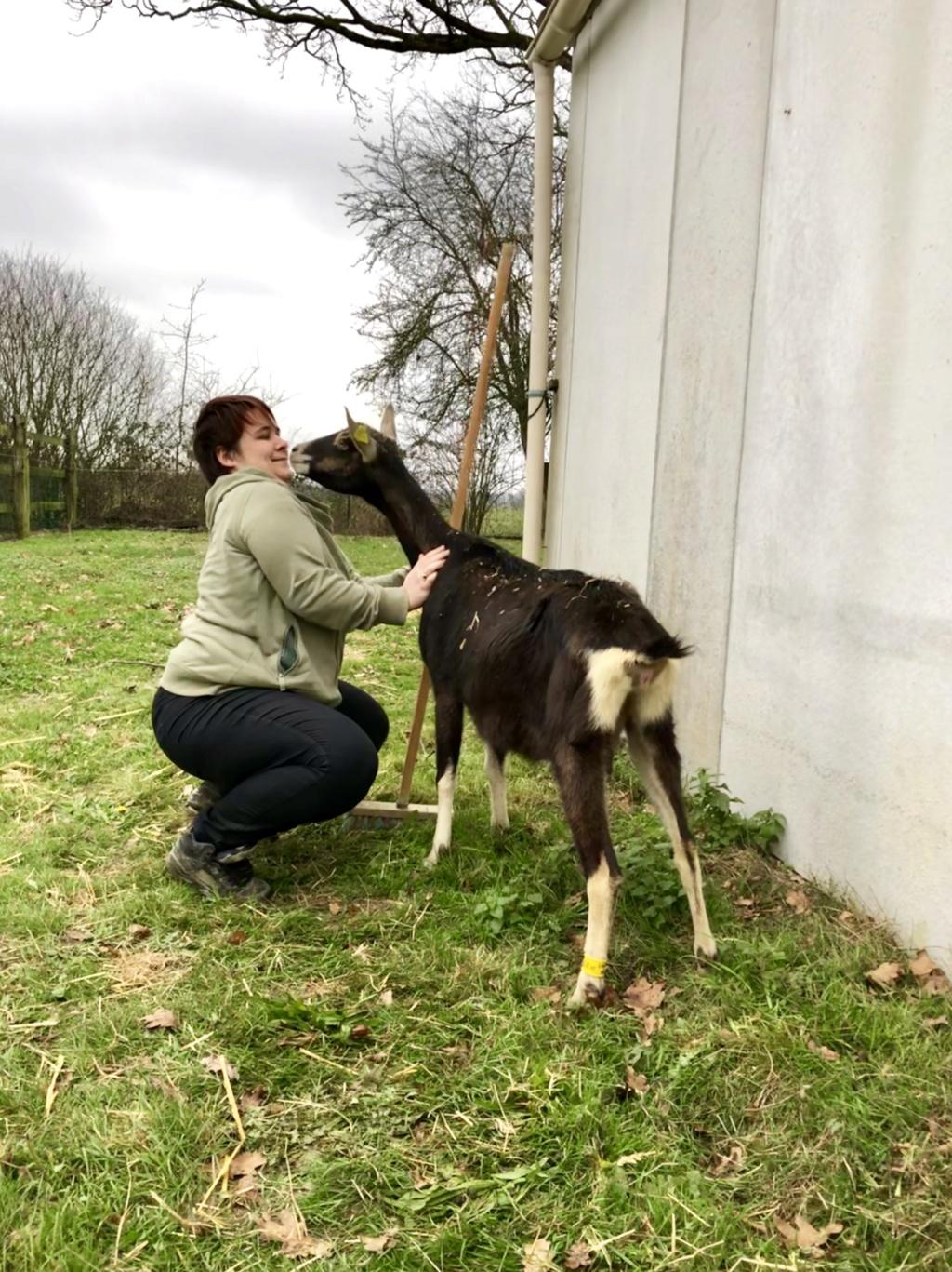MILLE & UNE NUIT - Chèvre réformée d'élevage 08751610
