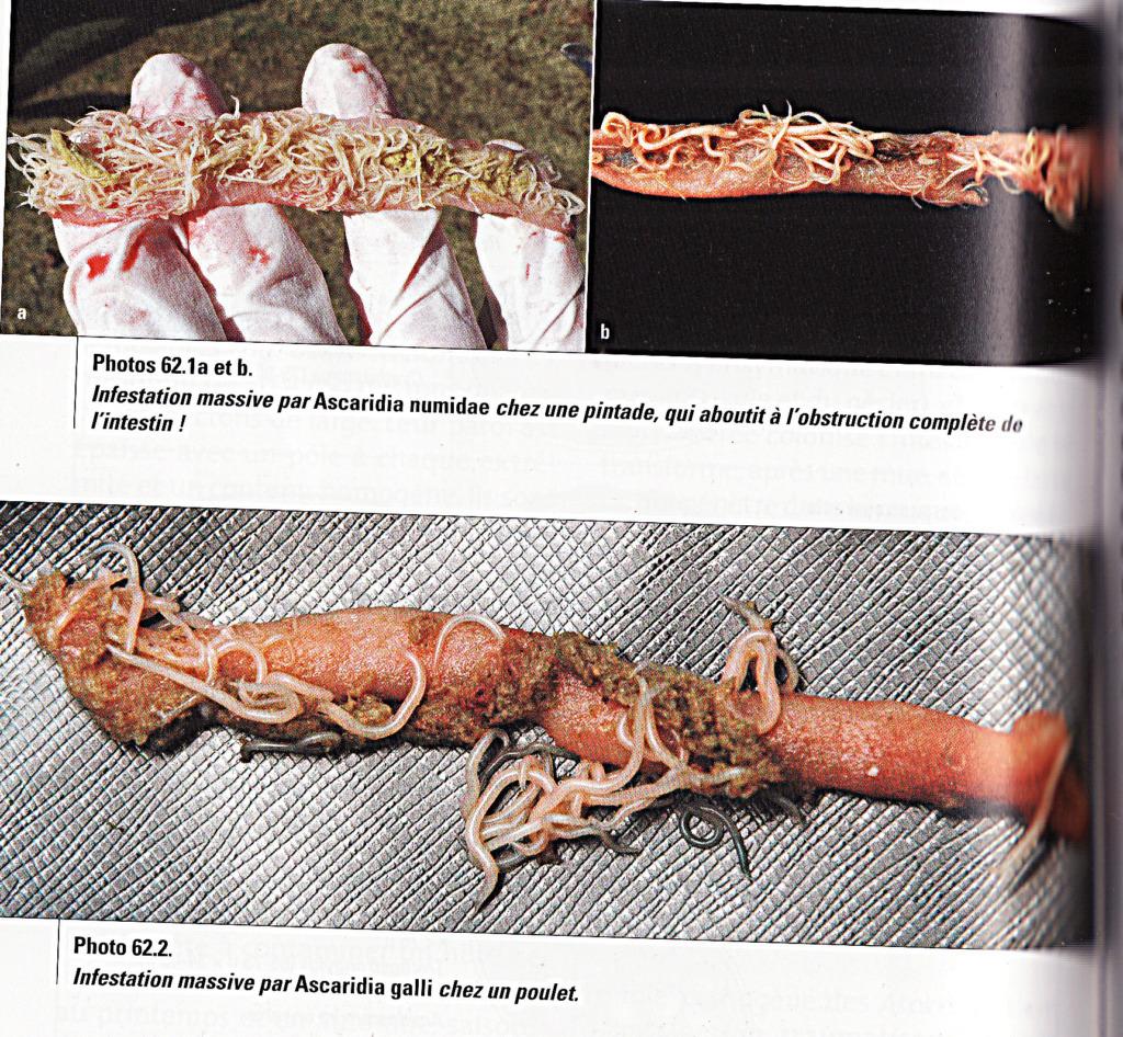 Poule qui ne mange plus, ne boit plus et reste prostrée - Page 2 Img17