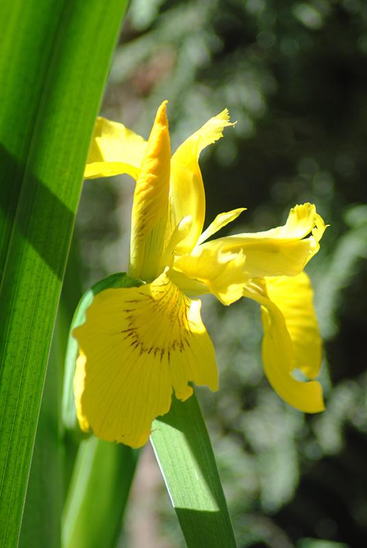 Iris pseudacorus - iris des marais  Irisps10