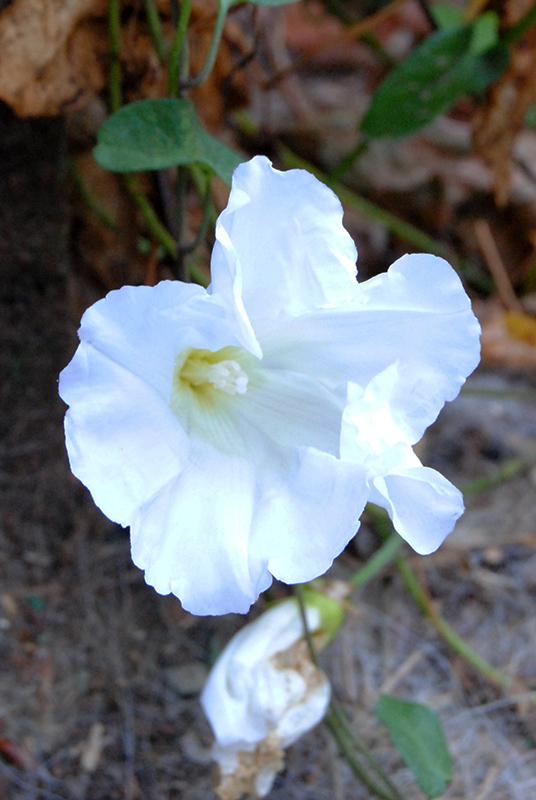 Calystegia sepium - liseron des haies Lisero11
