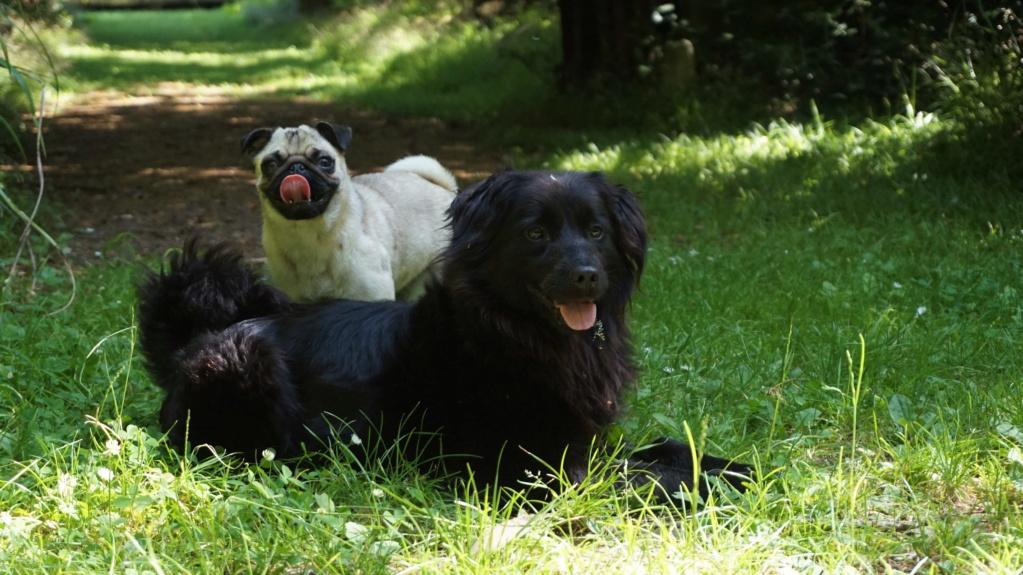 DANA (ex Baya) épagneul ratier noire femelle 2 ans  de Béthune - Asso La Patte de l'Espoir (61) Dsc07110