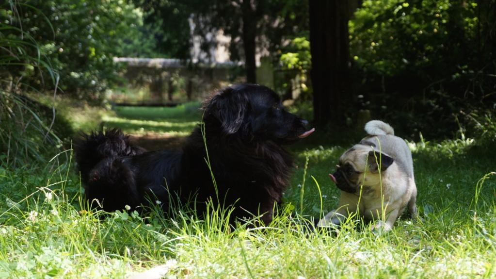 DANA (ex Baya) épagneul ratier noire femelle 2 ans  de Béthune - Asso La Patte de l'Espoir (61) Dsc07114