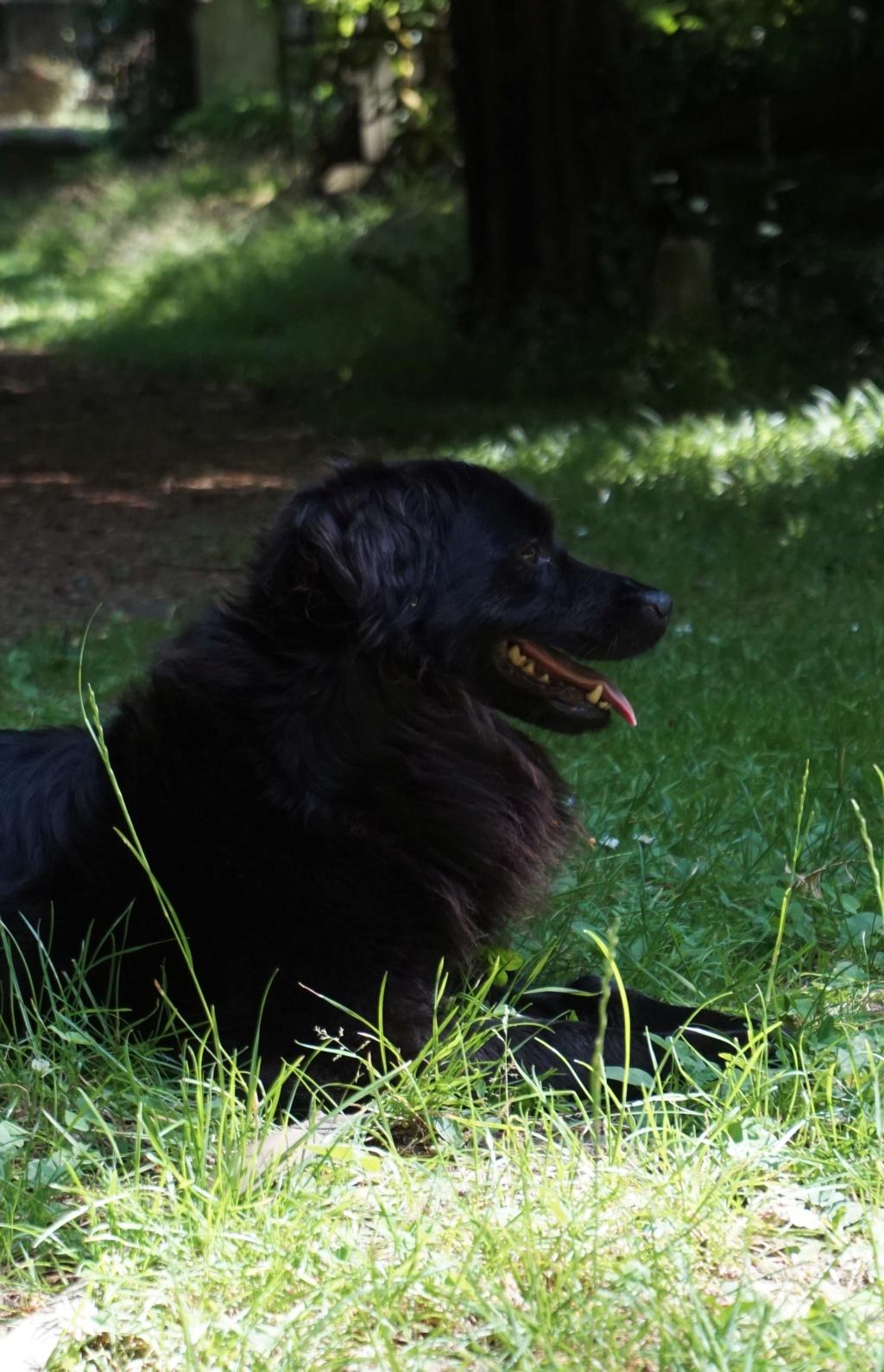 DANA (ex Baya) épagneul ratier noire femelle 2 ans  de Béthune - Asso La Patte de l'Espoir (61) Dsc07117