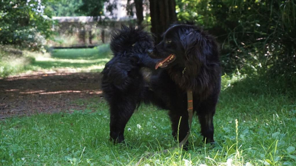 DANA (ex Baya) épagneul ratier noire femelle 2 ans  de Béthune - Asso La Patte de l'Espoir (61) Dsc07118