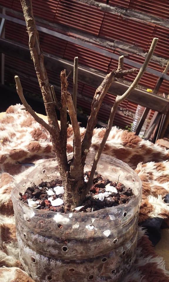 ¿Puede ser un bonsai? 37880710