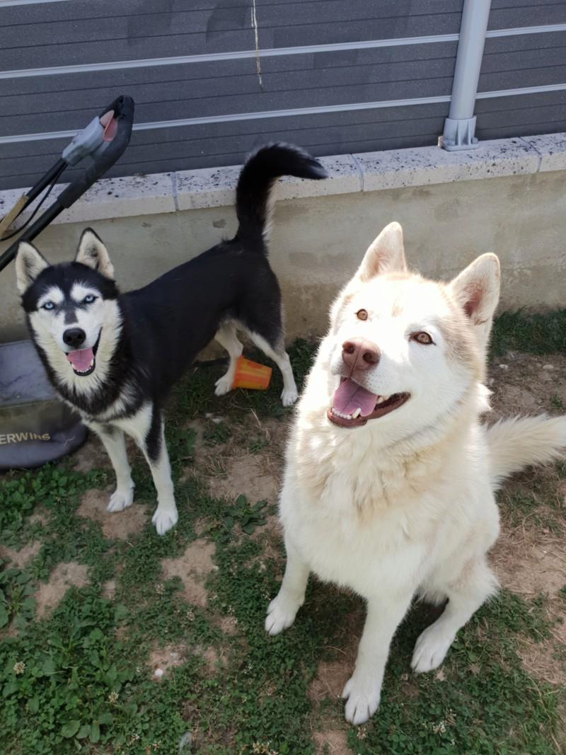 Couple de Huskies sibériens à placer 20180710