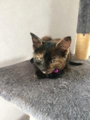 OSIA, femelle tricolore, type chat de maison, née le 1/08/2018 Img_1415