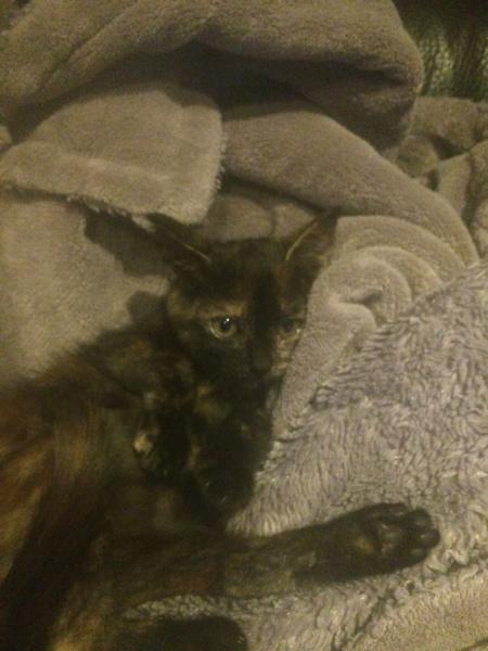 OSIA, femelle tricolore, type chat de maison, née le 1/08/2018 Img_1422