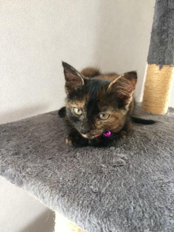 OSIA, femelle tricolore, type chat de maison, née le 1/08/2018 Img_1424