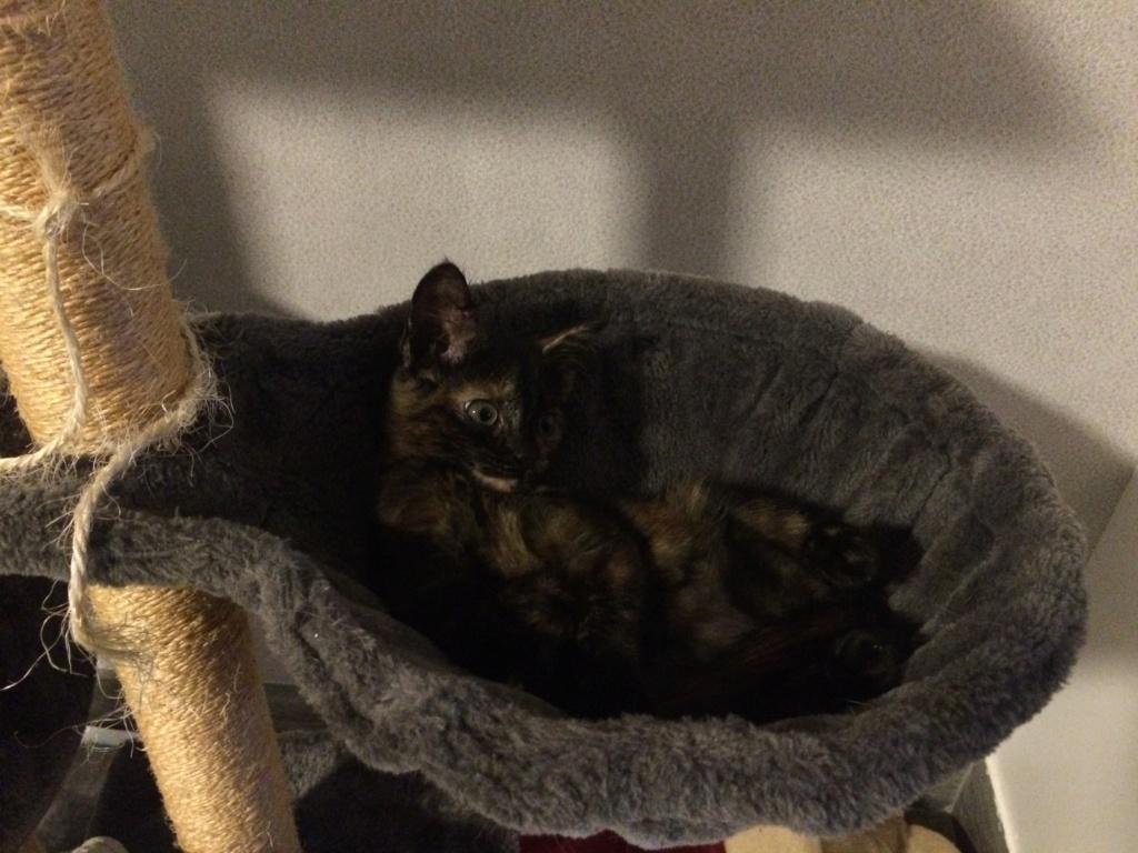 OSIA, femelle tricolore, type chat de maison, née le 1/08/2018 Img_1425
