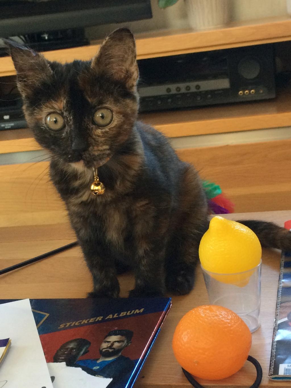 OSIA, femelle tricolore, type chat de maison, née le 1/08/2018 Img_1426