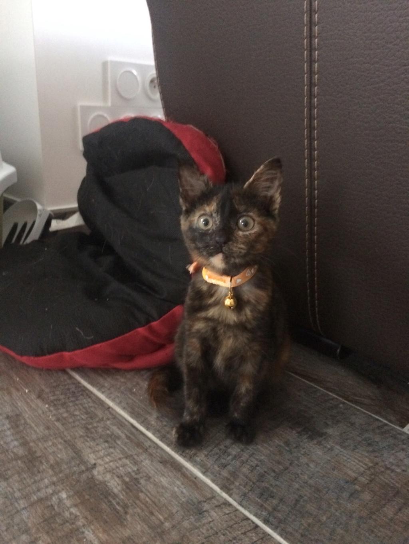 OSIA, femelle tricolore, type chat de maison, née le 1/08/2018 Img_1517