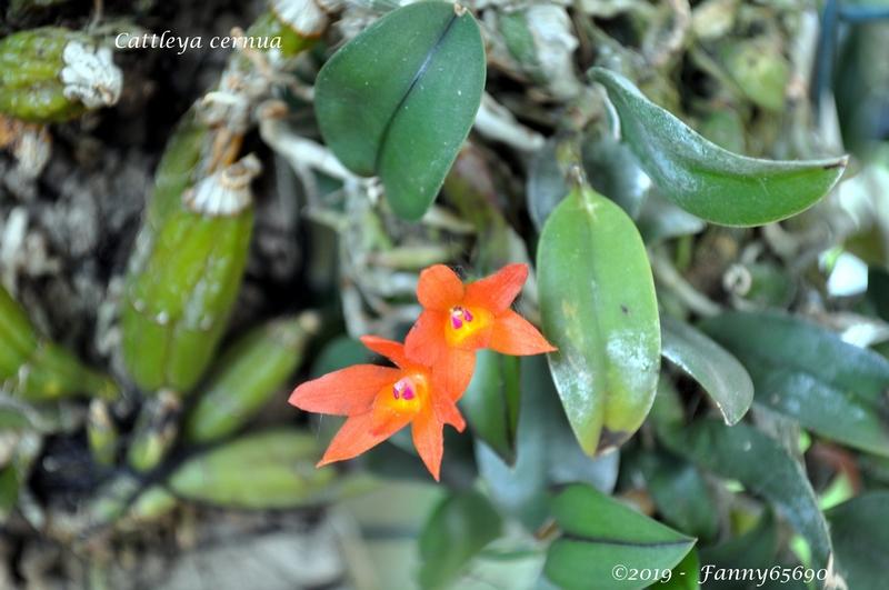 Cattleya cernua Dsc_0069