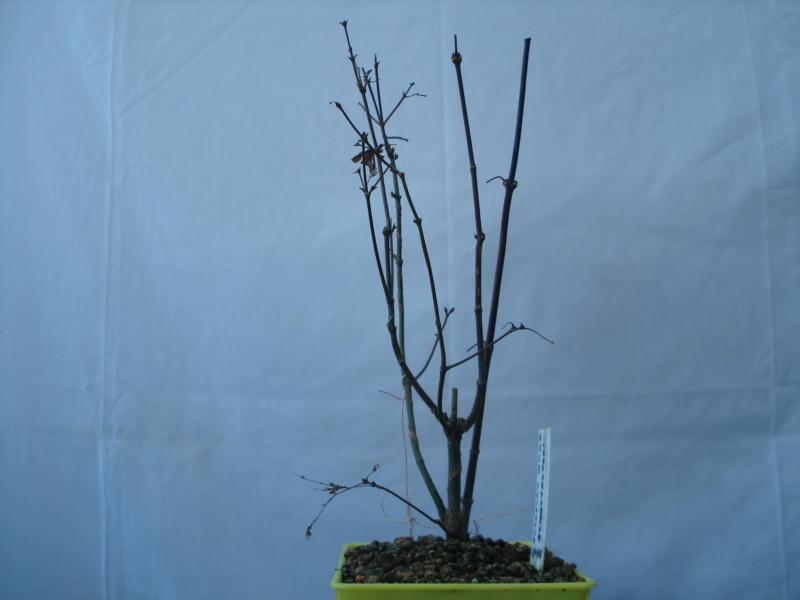 ¿Como comenzar con este Arce Palmatum Atropurpureum? Dsc00514