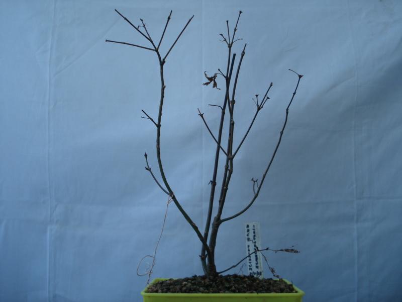 ¿Como comenzar con este Arce Palmatum Atropurpureum? Dsc00515