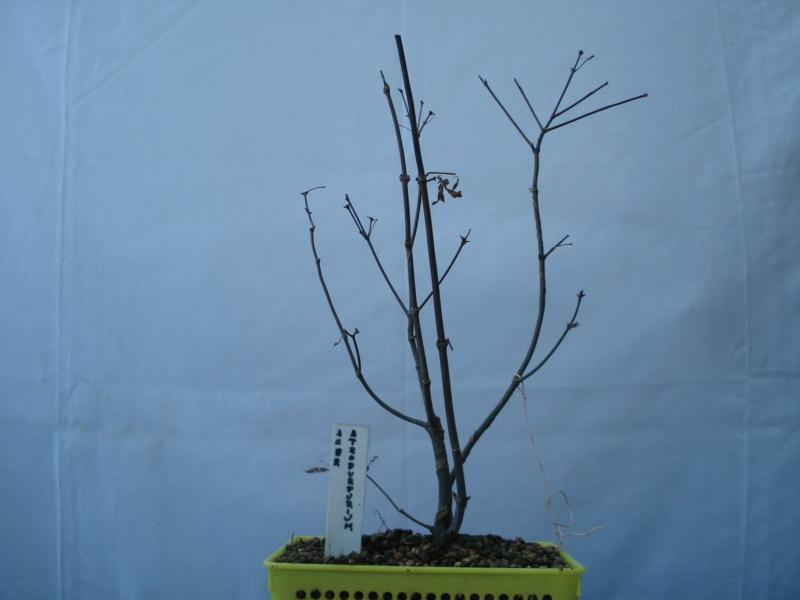¿Como comenzar con este Arce Palmatum Atropurpureum? Dsc00516