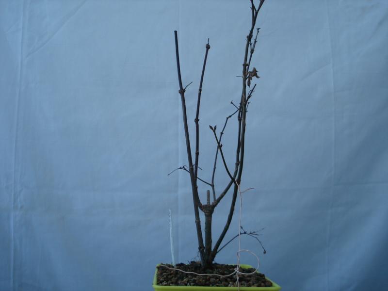¿Como comenzar con este Arce Palmatum Atropurpureum? Dsc00517
