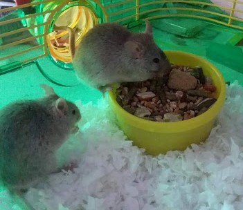 Blue Russian males need home in California Cloudy12