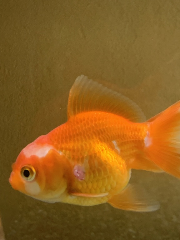 [URGENT] Poisson rouge bouton blanc blessure  40bf6a10
