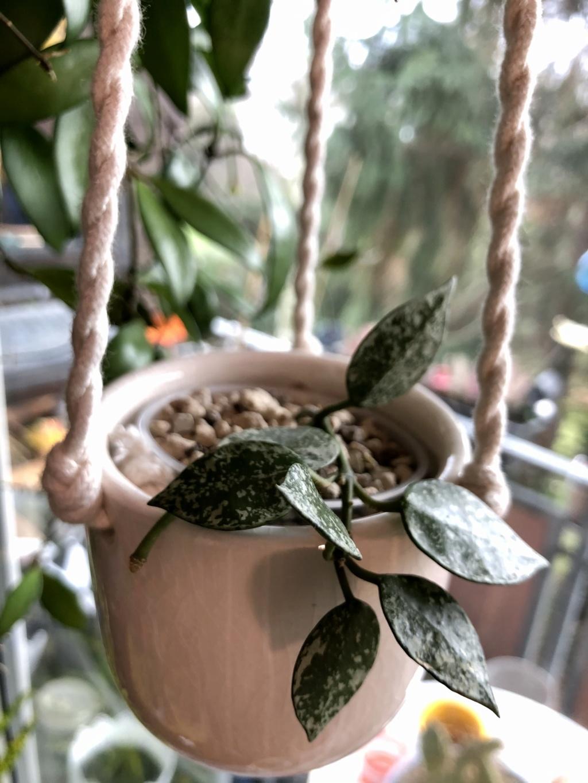 Brilonas bescheidene Hoya-Sammlung Img_8518