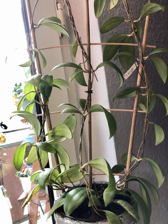 Brilonas bescheidene Hoya-Sammlung Img_8535