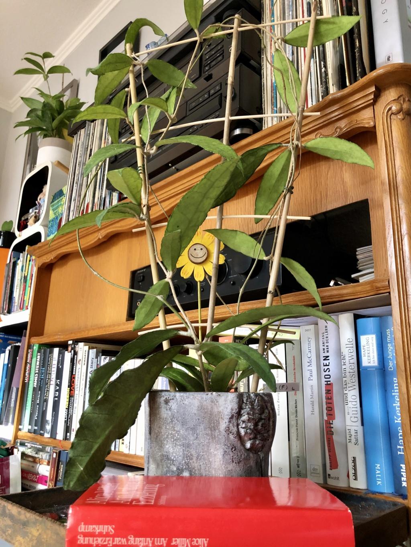 Brilonas bescheidene Hoya-Sammlung Img_8537