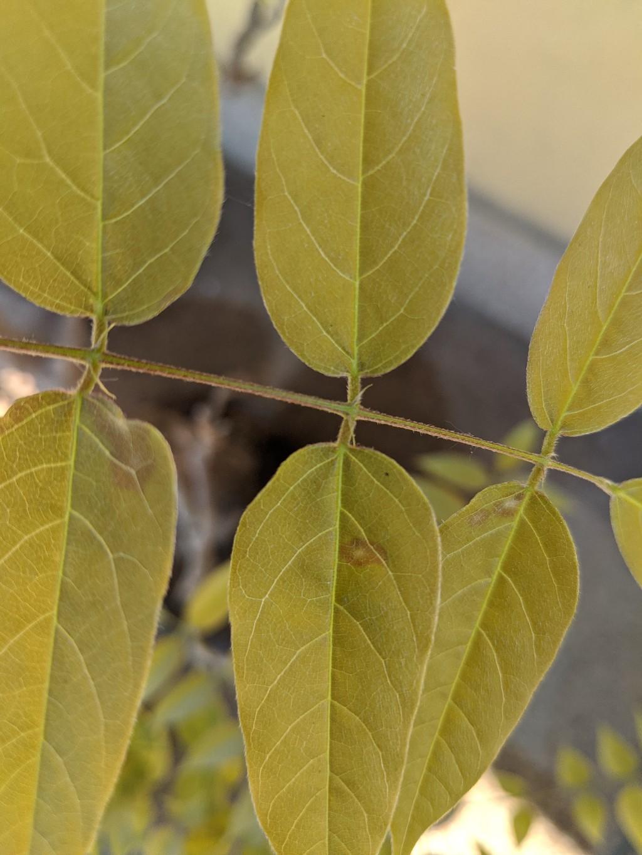 Glicine con macchie sulle foglie Img_2013