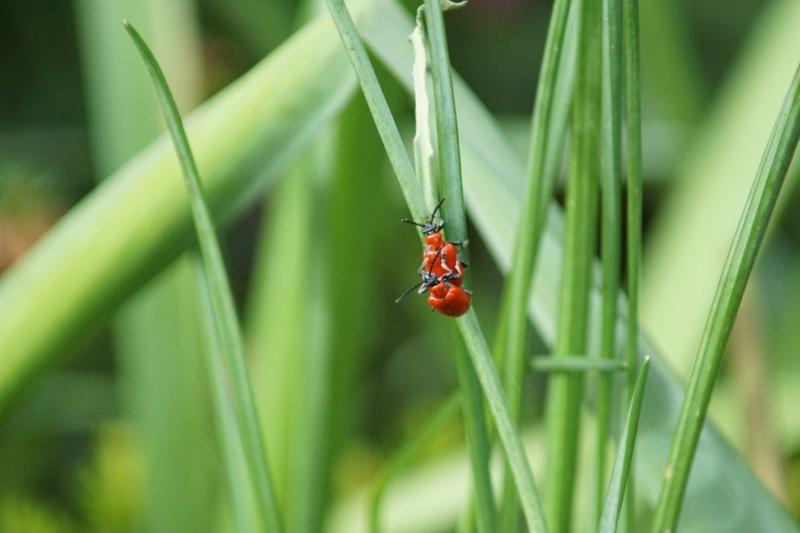 [Lilioceris lilii] criocère Dsc00414