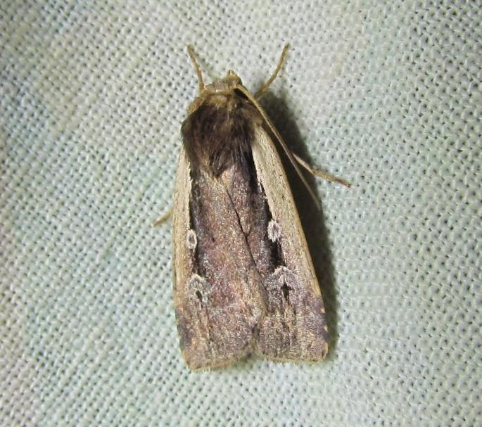 Ochropleura leucogaster... ou non Ochrop10