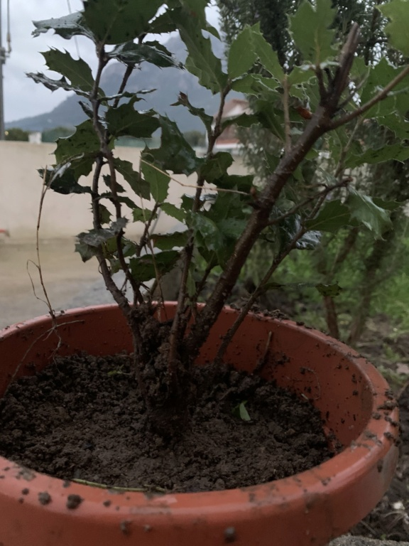 Piantine di quercia sarda 5c1e5f10
