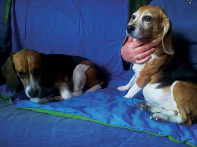 URGENT : deux beagles femelles 4 et 9 ans à placer en urgence ! 5391_110