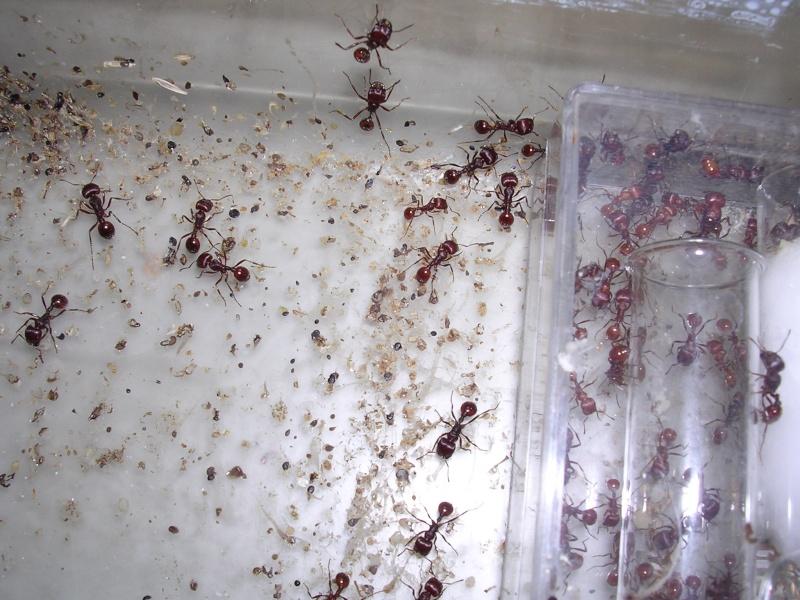 Pogonomyrmex (fourmis des déserts américains) 05_02_10