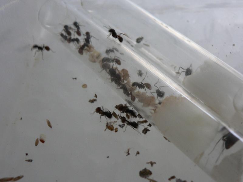 Pogonomyrmex (fourmis des déserts américains) 06_03_10