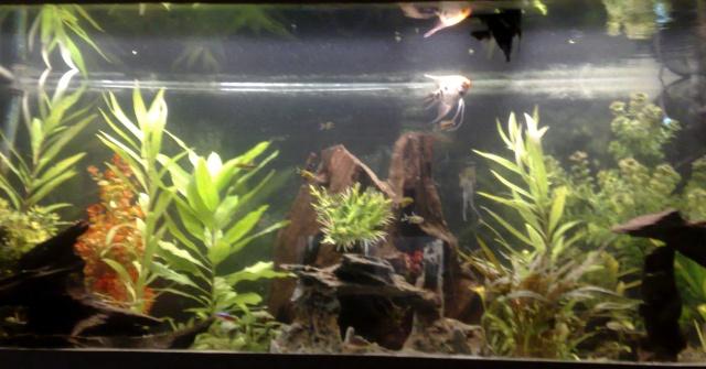 mes poissons scalaires et autres !!! 14102022