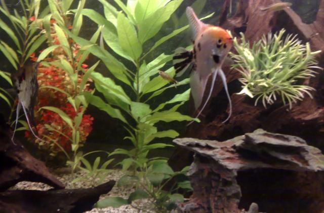 mes poissons scalaires et autres !!! 26102016