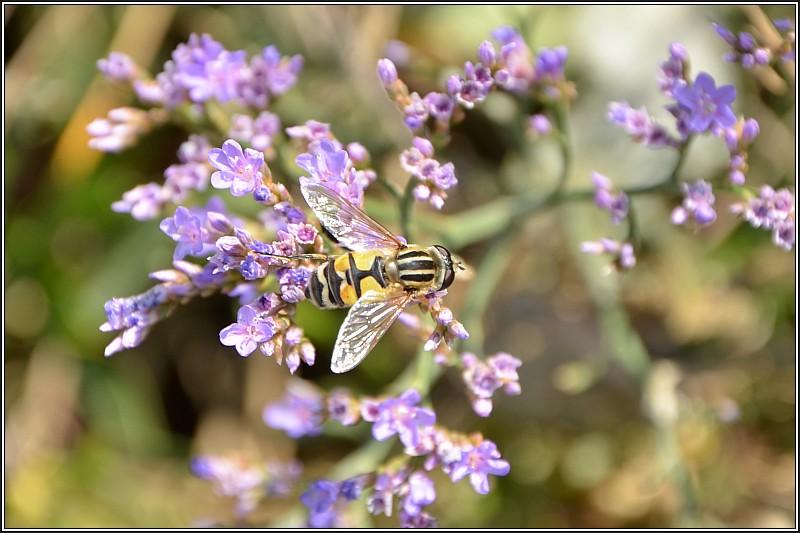 syrphidae Haloph10