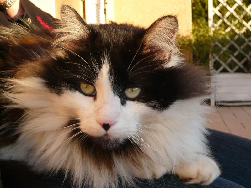 Perdu à St-Lys, Bobby, chat noir et blanc poils longs Perdub10